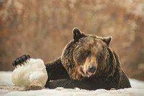 Beren in opvang Roemenië overwinteren in de sneeuw