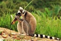 Noodvoedsel voor maki's op Madagaskar