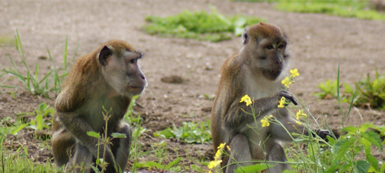 Java-apen Eugen & Oz genieten van hun Apeneiland!