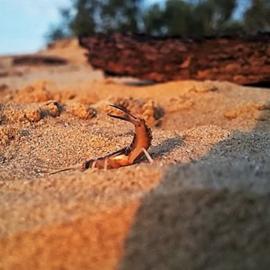 Zandoorworm